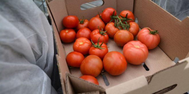 Выращивание помидоров в азербайджане 59